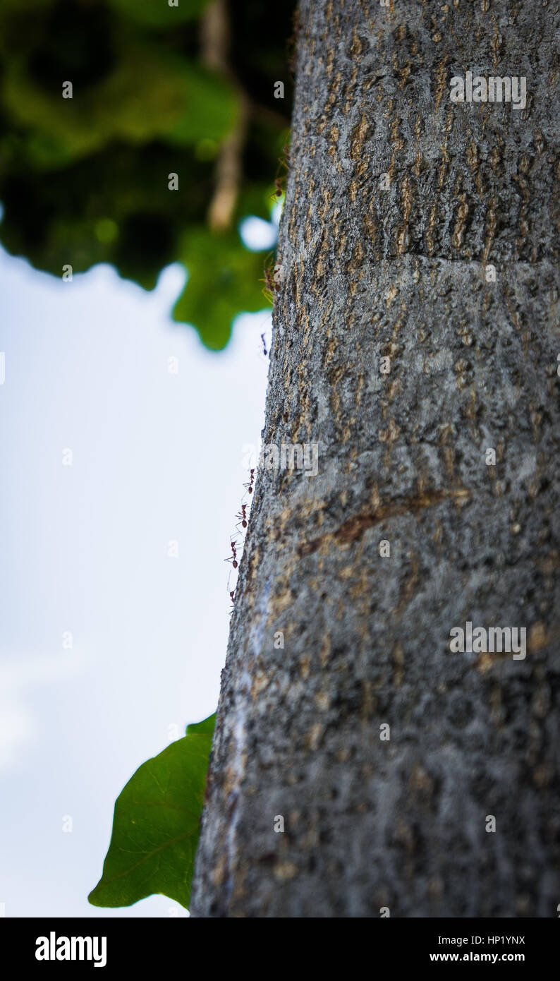 black ants crawling on a tree trunk. Stock Photo