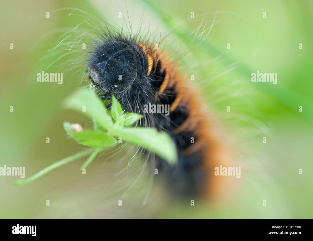 closeup of a caterpillar Macrothylacia rubi in ist natural background - Stock Image