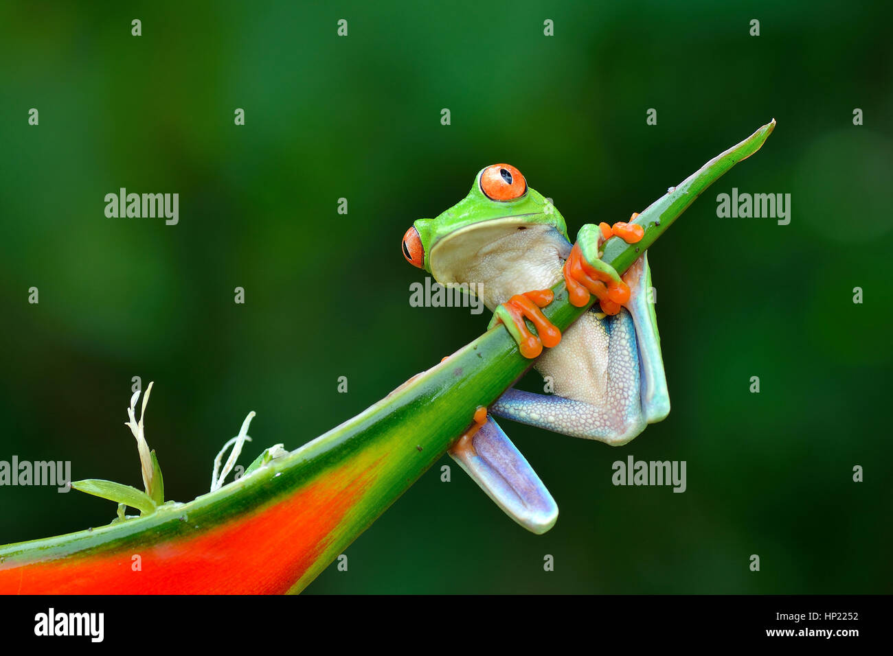Red-eyed Tree Frog in Costa Rica rain forest Stock Photo