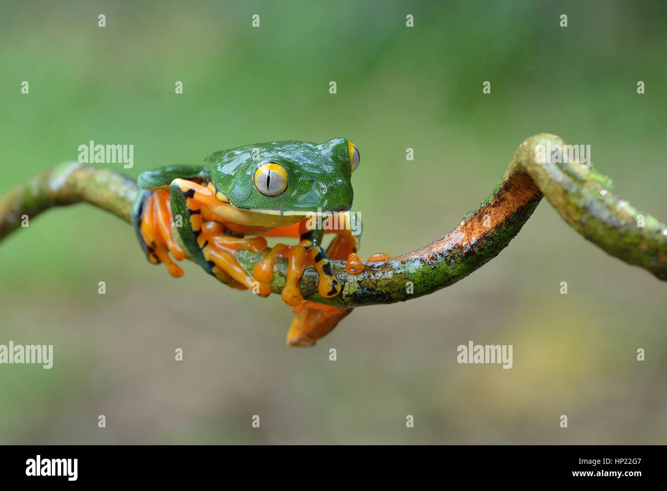 A rare Splendid Leaf frog in Costa Rica lowland rain forest Stock Photo