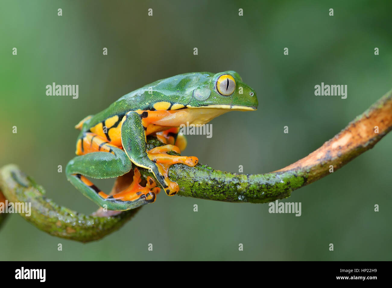 A rare Splendid Leaf frog in Costa Rica lowland rain forest - Stock Image