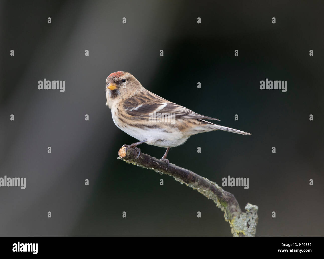 Redpoll on a branch,winter,January 2017 - Stock Image