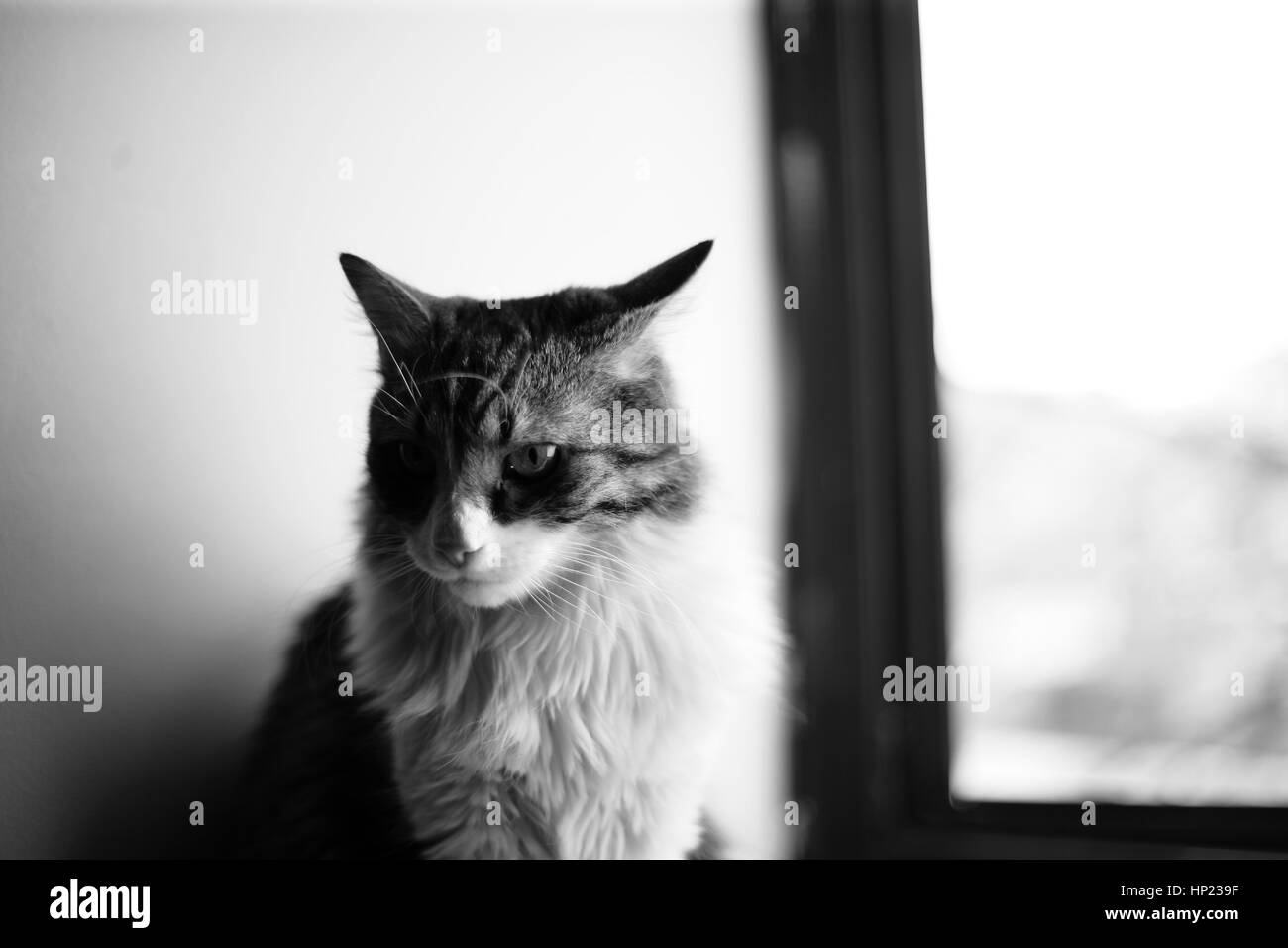 A portrait of a long furred cat with a melancholic look, sitting on a window shelf - Stock Image