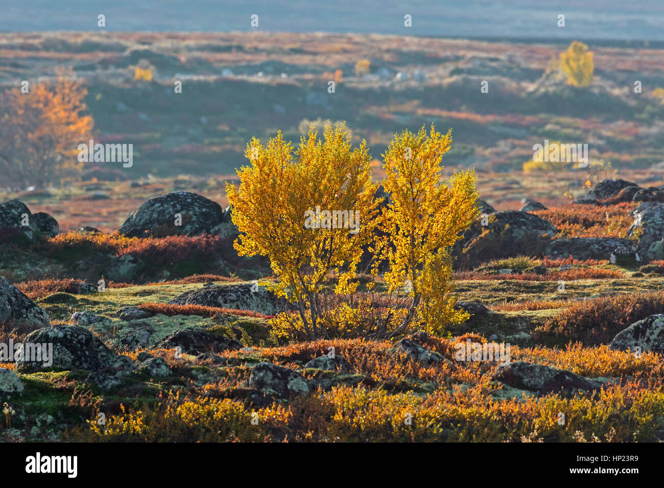 European white birches / downy birch / moor birch (Betula pubescens / Betula alba) on the tundra in autumn, Rondane - Stock Image