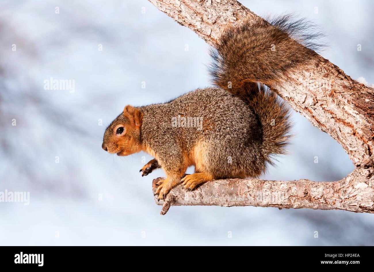Eastern Fox Squirrel Idaho Stock Photo 134042450 Alamy