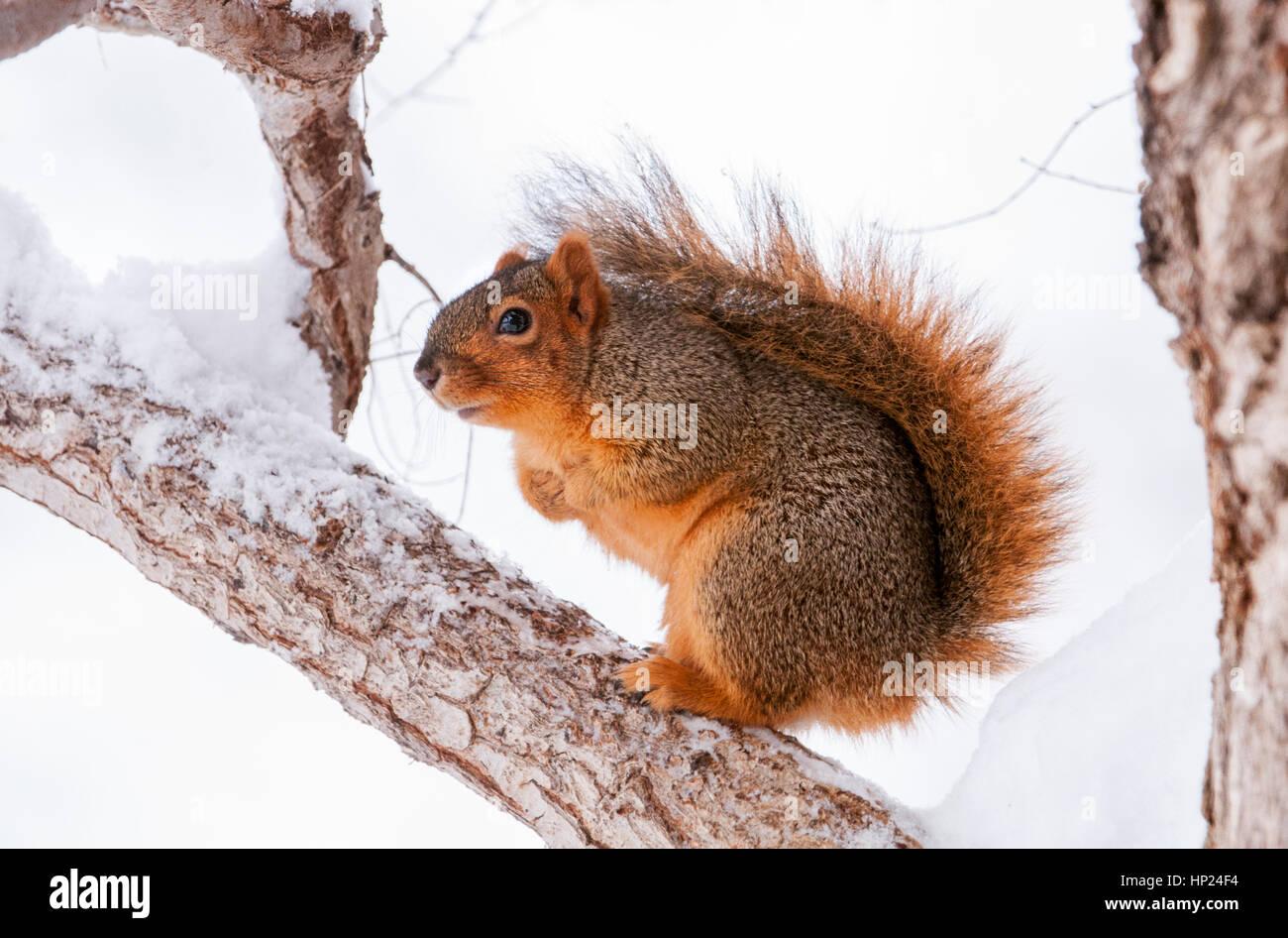 Eastern Fox Squirrel Idaho Stock Photo 134042472 Alamy