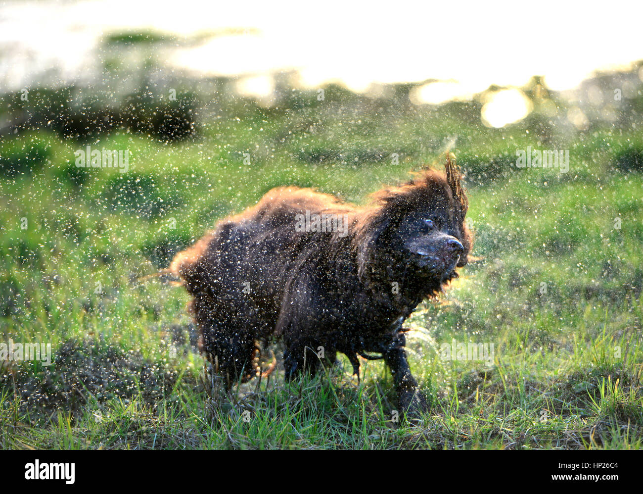 Brown cocker spaniel shaking off water in the sun - Stock Image