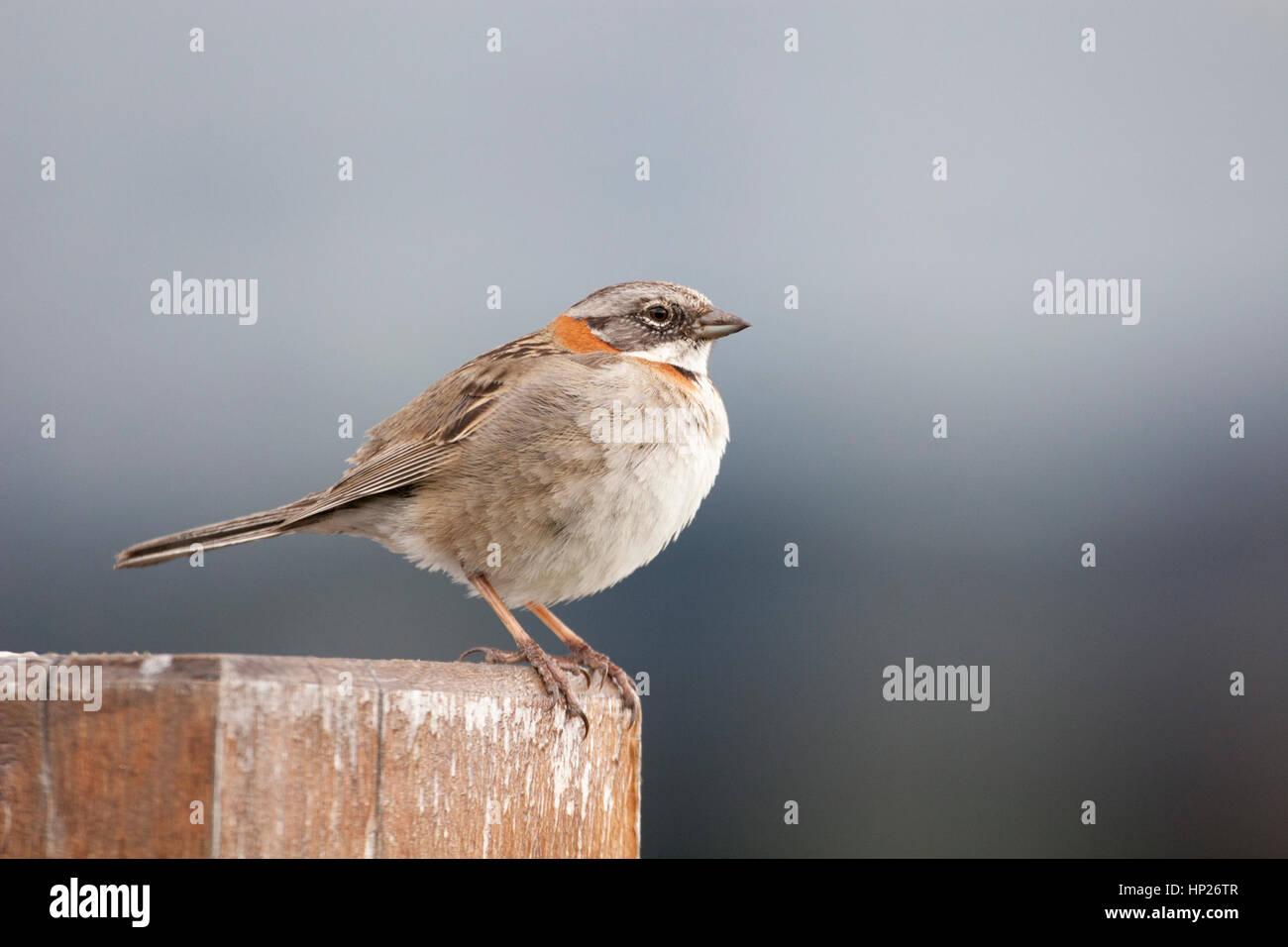 Rufous-collared Sparrow (Zonotrichia capensis australis) at Lago Pehoe Stock Photo
