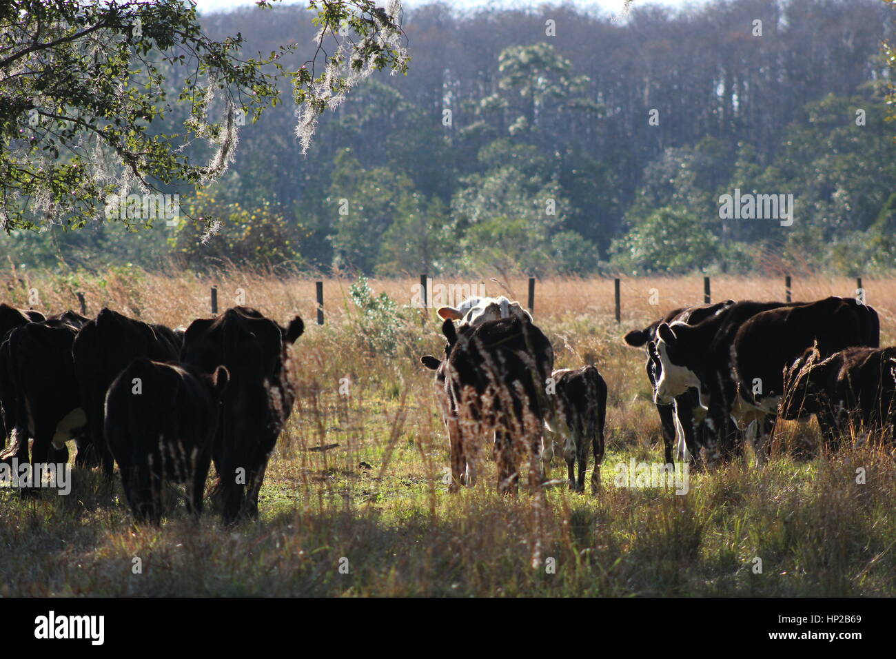 Cows deserve the freedom of enjoying the Earth's lands as well. Do not support the mistreatment of cows and - Stock Image