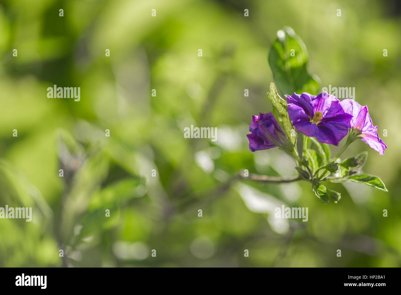 Spanish violet flowers in the morning - Stock Image