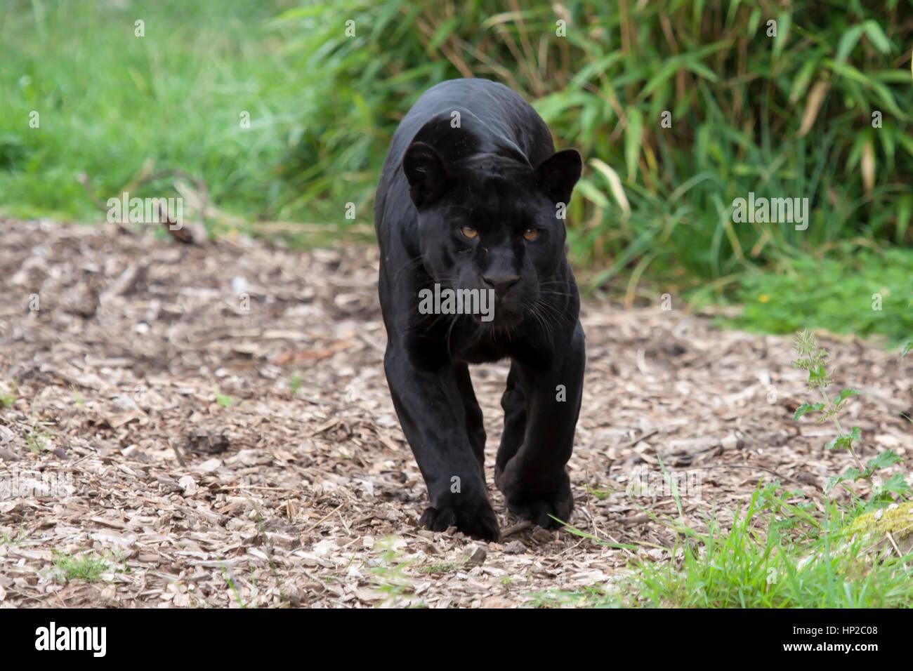 Goshi Female Black Jaguar At Chester Zoo England Uk Stock Photo
