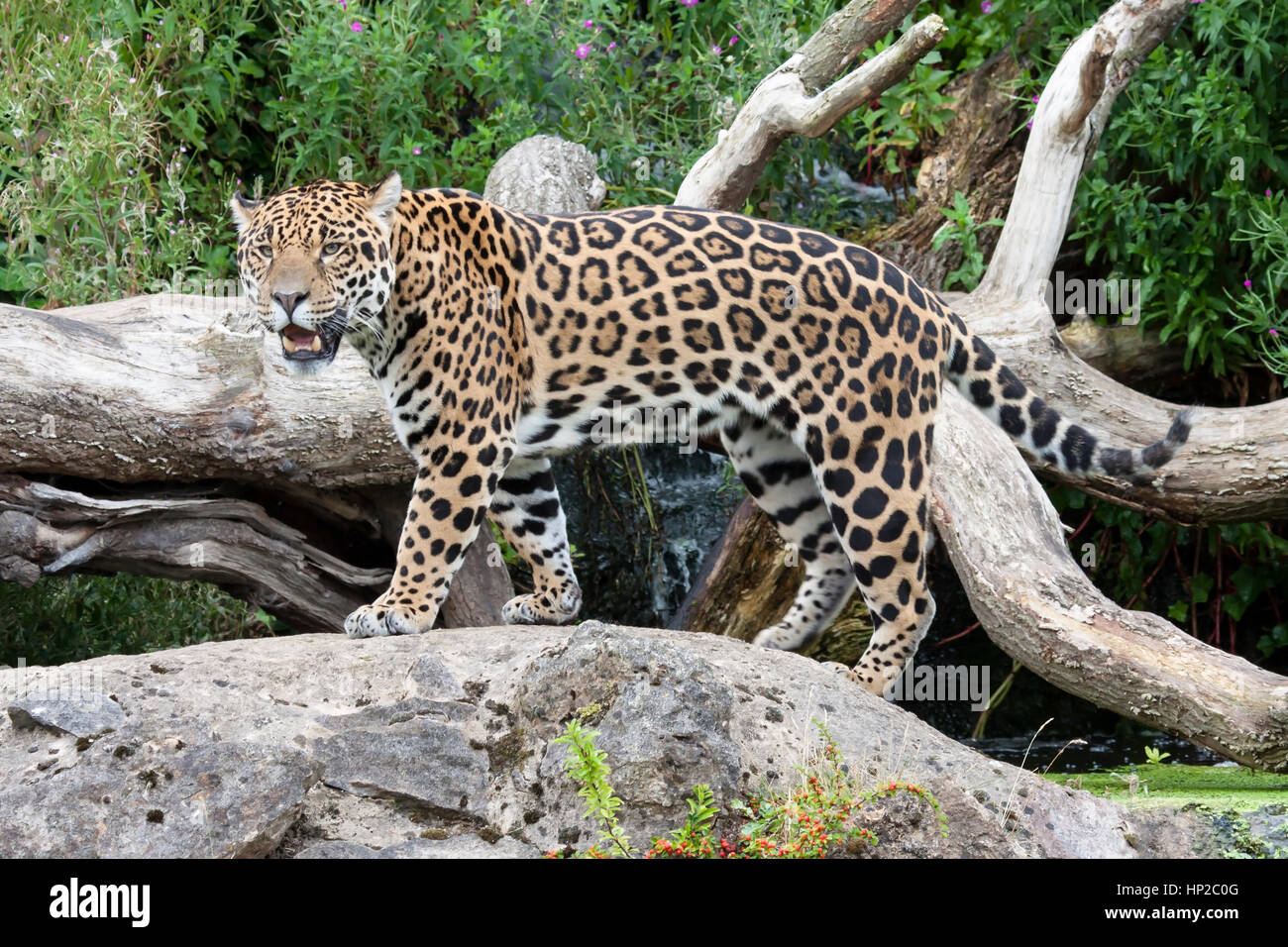 'Napo'  one of the Male Jaguars  at Chester Zoo, England, UK - Stock Image