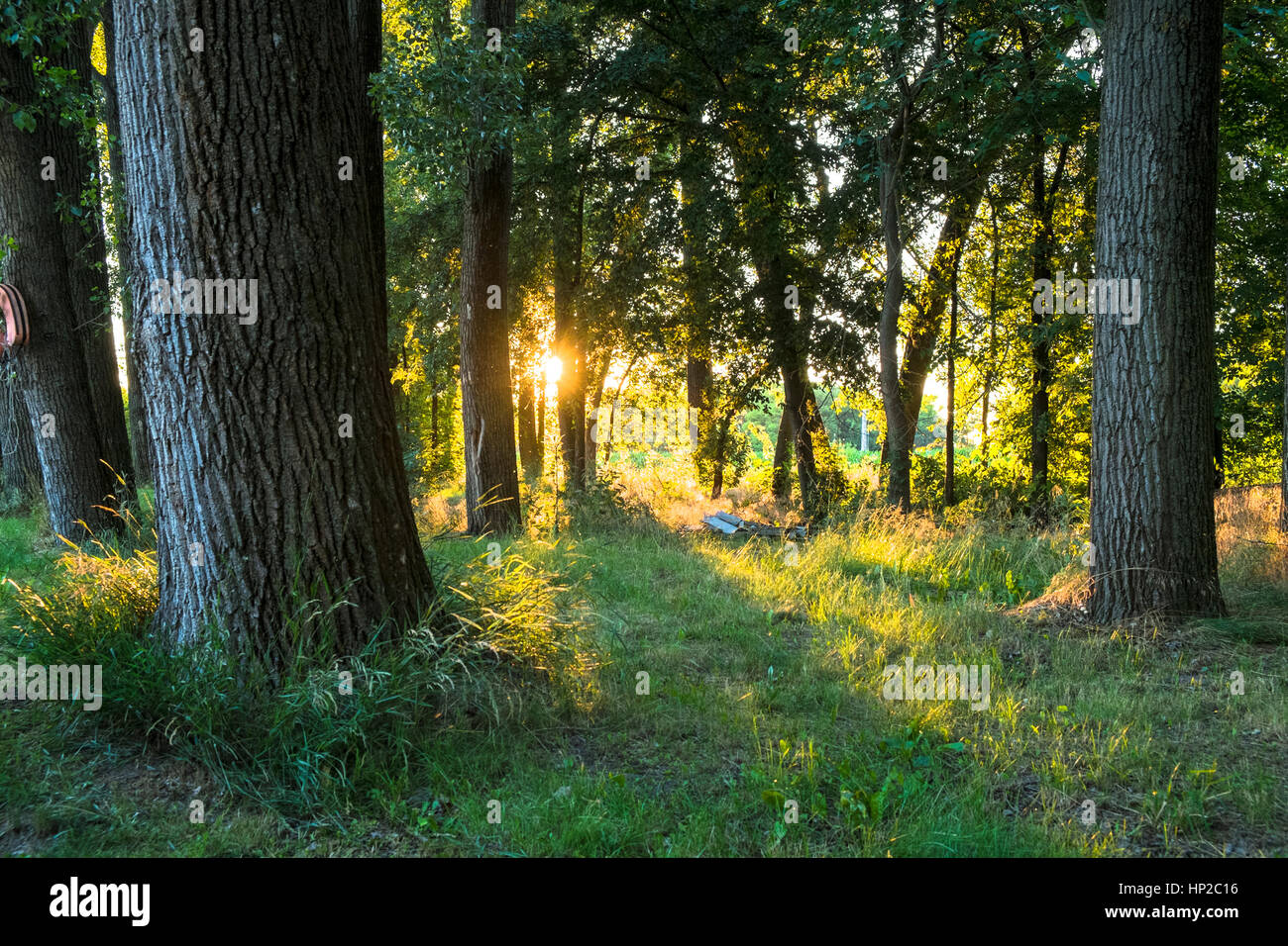 Spring forest in sunset - Stock Image
