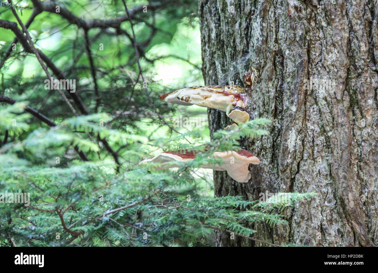 Shelf fungus on tree in Smoky Mountains National Park in Tennessee Stock Photo