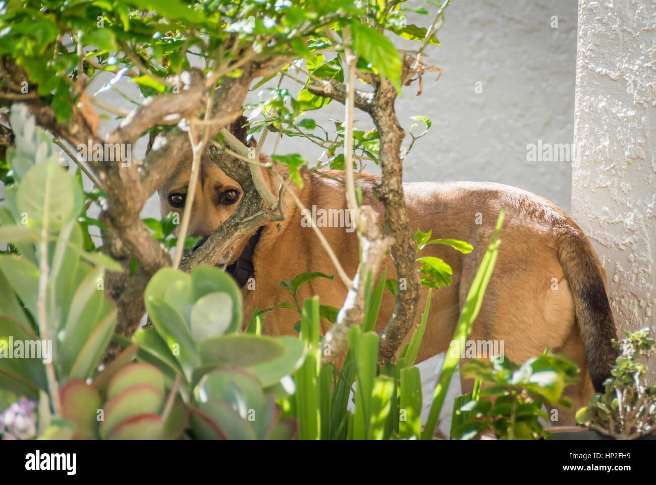 A dog doing a poor job of hiding behind a bush in a garden. - Stock Image