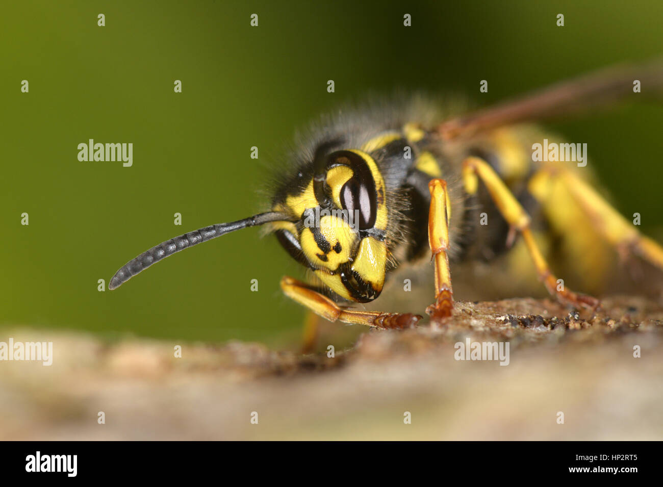 Common Wasp - Vespula vulgaris Stock Photo