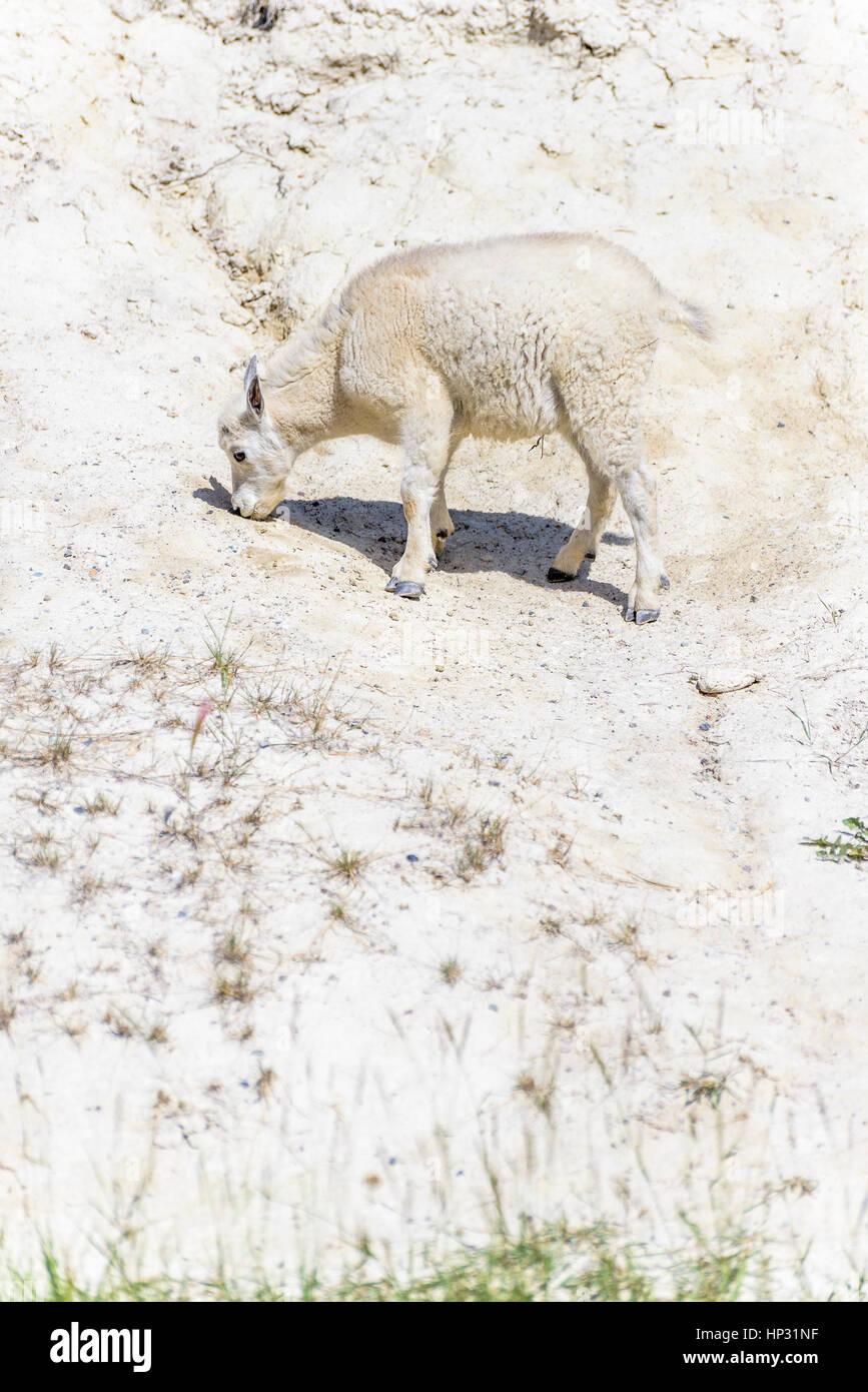 Mountain Goat kid at salt lick, Jasper National Park, Alberta, Canada - Stock Image