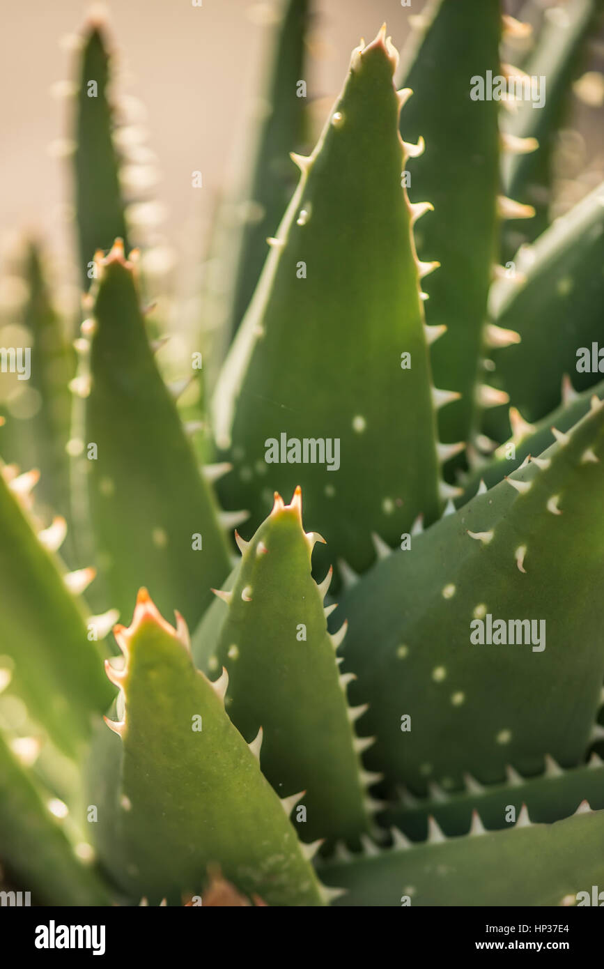 Spanish green succulent cactus in Fabryary by  macro view - Stock Image