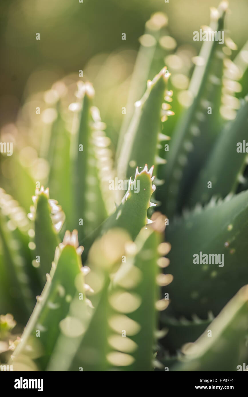 Spanish green succulent cactus in Fabryary by  macro view Stock Photo