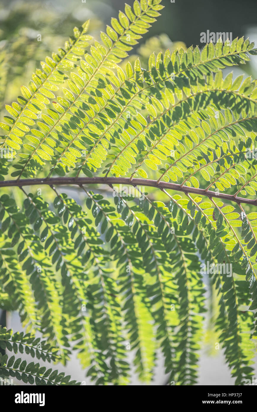 Spanish fern branch in morning sun through the  shadow side - Stock Image