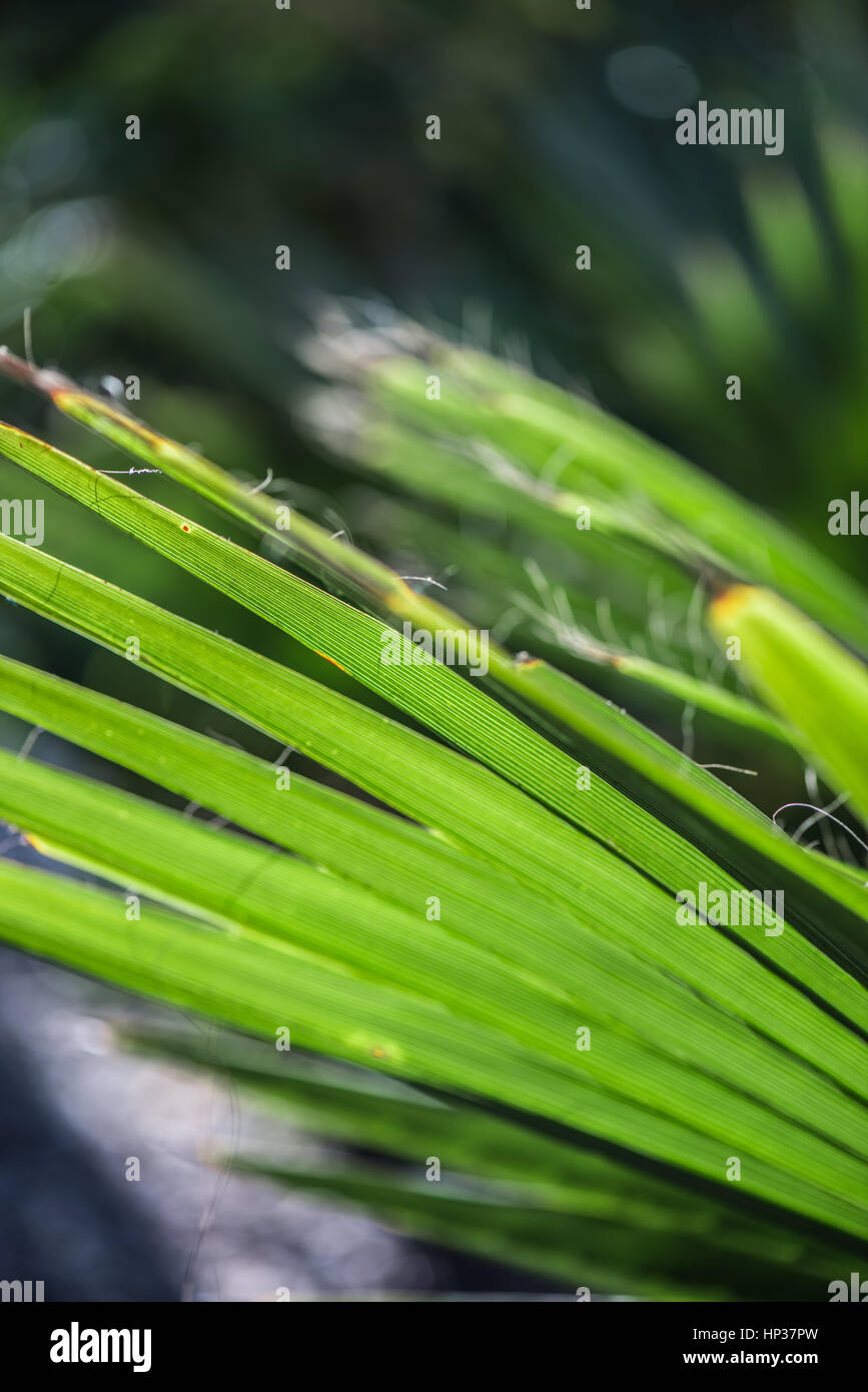 Spanish dagger yucca by macro view - Stock Image