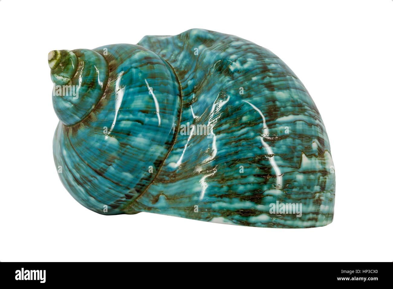 Turquoise seashell Stock Photo