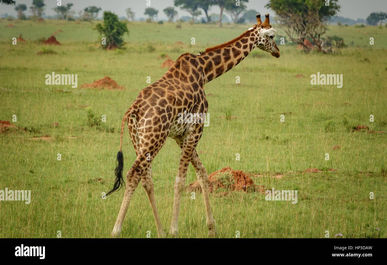 Single giraffe in Murchison Park, Uganda - Stock Image