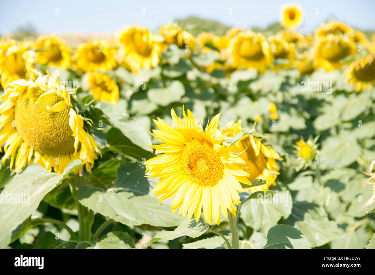 Sunflowers in Road to Santiago - Stock Image