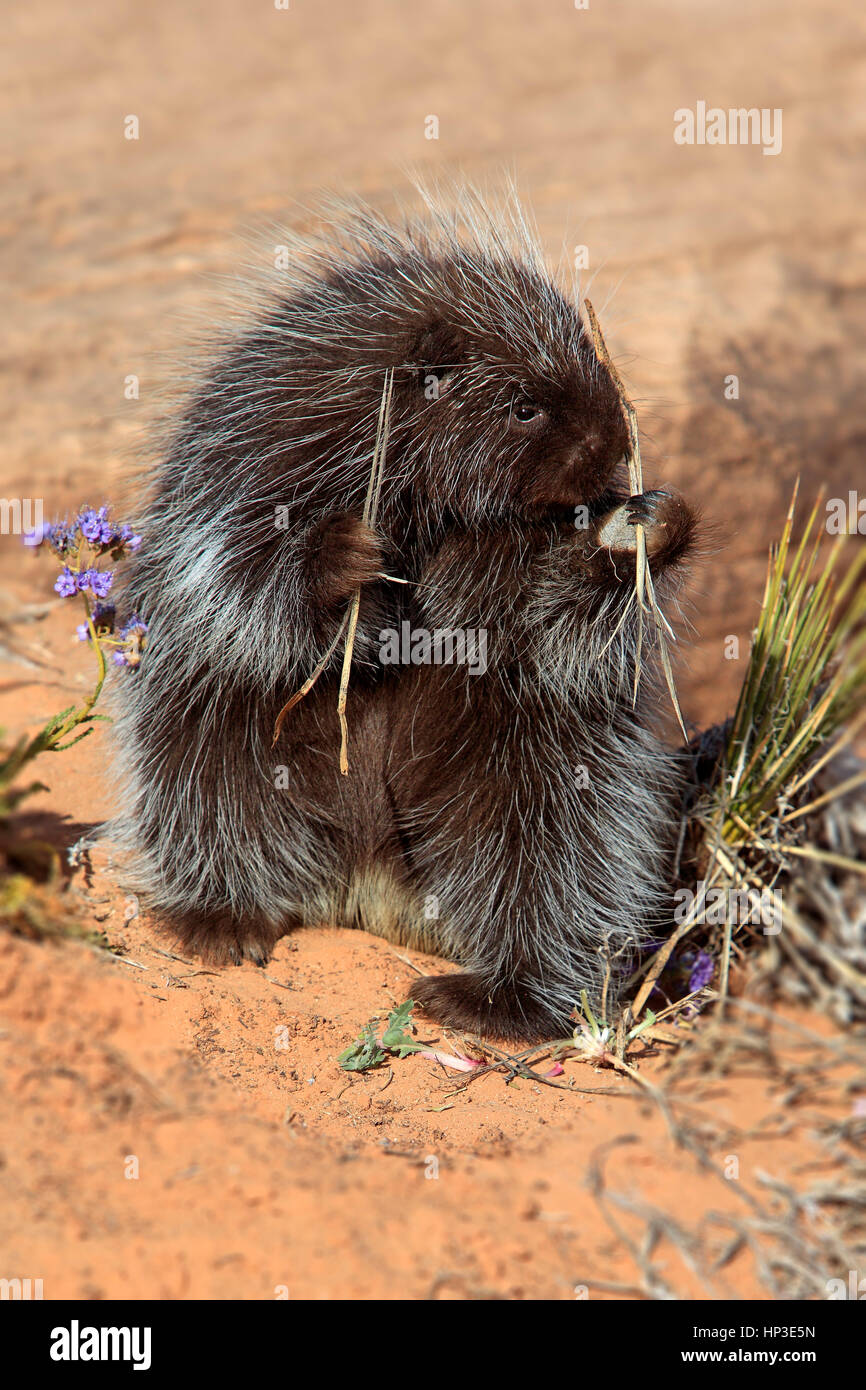 North American Porcupine, (Erethizon dorsatum), Monument Valley, Utah, USA, adult feeding Stock Photo