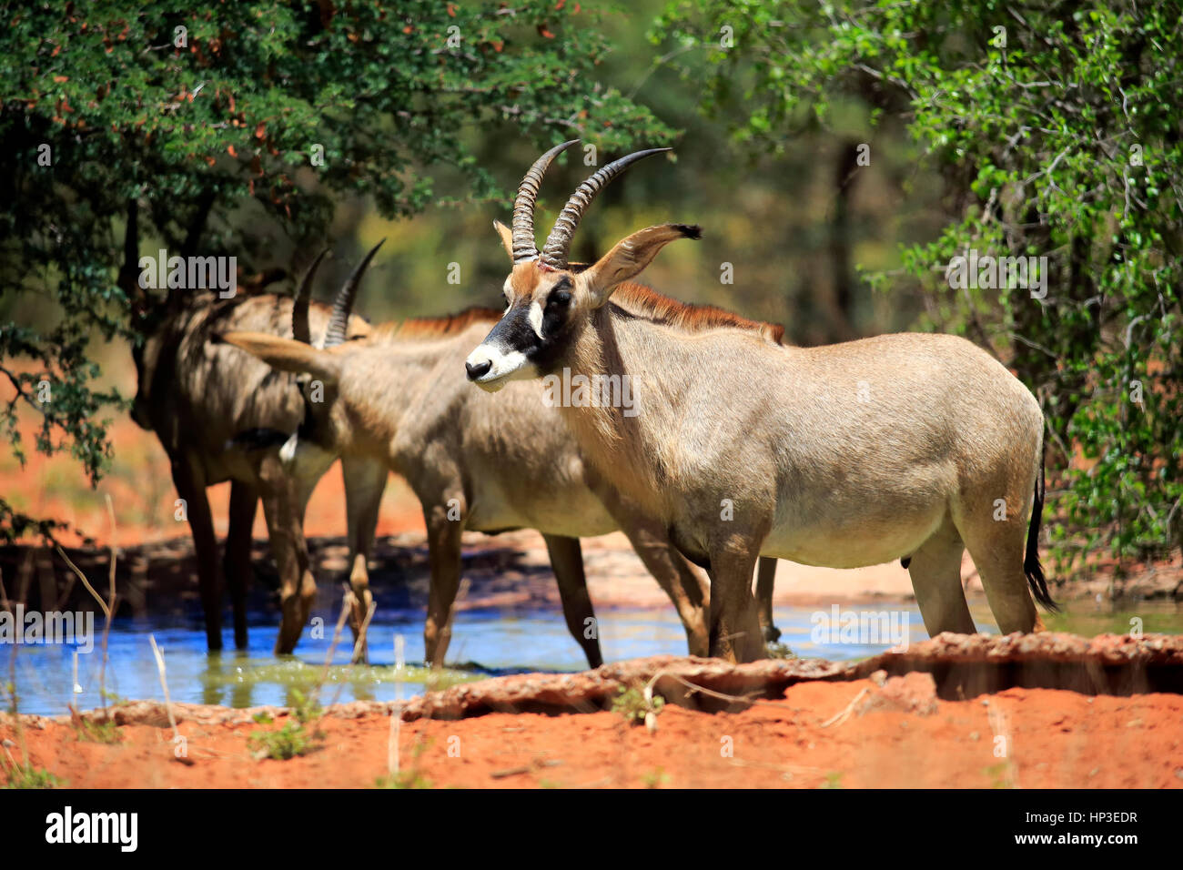 Pferdeantilope, (Hippotragus equinus), adult, Gruppe am Wasserloch, Tswalu Game Reserve, Kalahari, Nordkap, Suedafrika, - Stock Image