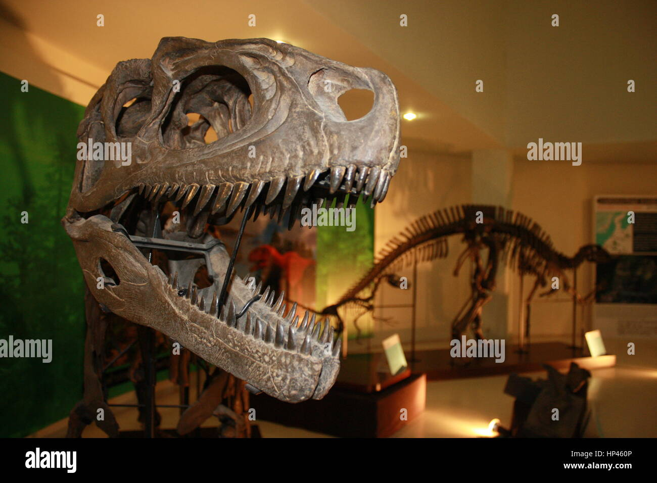 Skull of Siamotyrannus isanensis, the Thai T Rex, which predates the classic T Rex. It was seven metres from nose - Stock Image