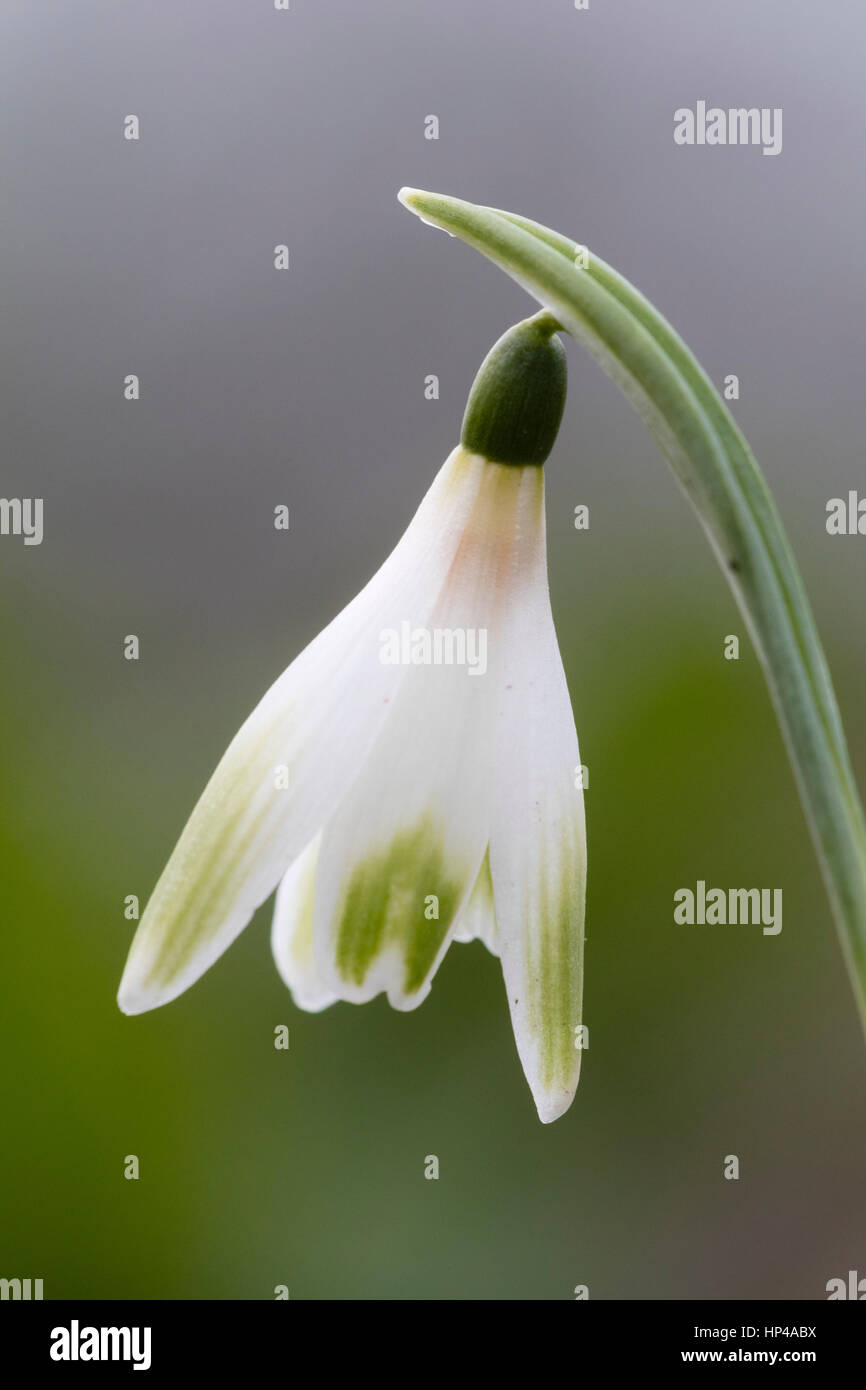 Single flower of the February flowering snowdrop, Galanthus 'Alan's Treat' - Stock Image