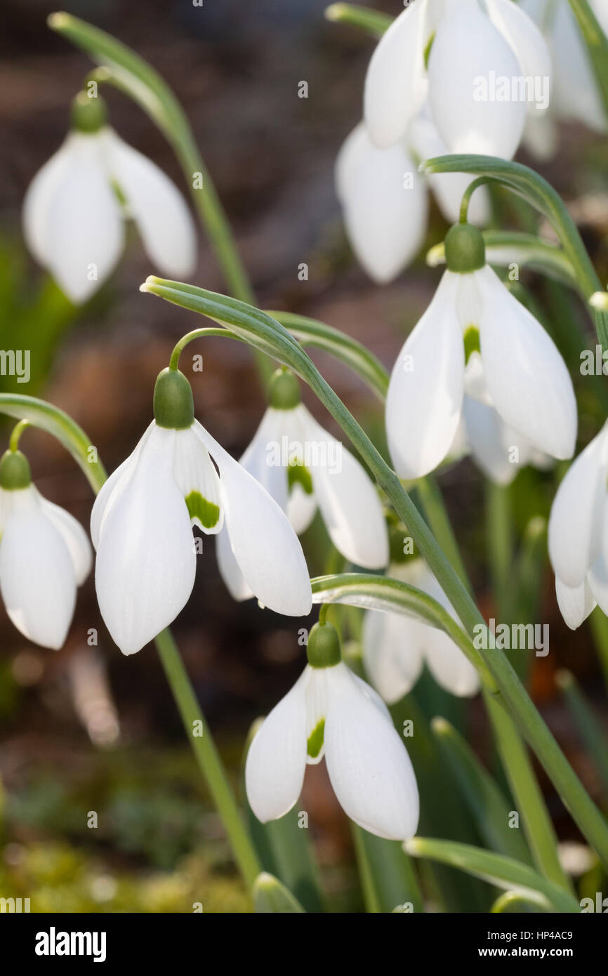 Green marked white winter flowers of the hardy snowdrop, Galanthus 'Bertram Anderson' - Stock Image