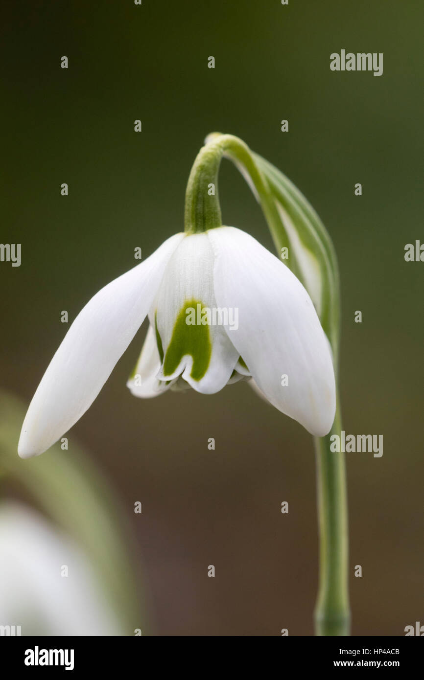 Single flower of the February flowering snowdrop, Galanthus 'Esther Merton' - Stock Image