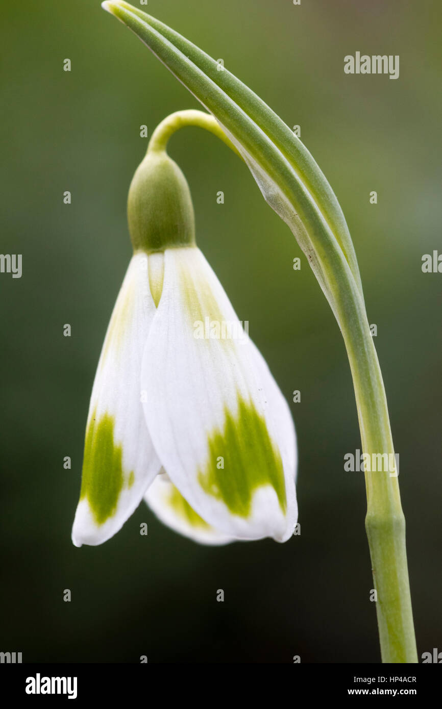 Single flower of the February flowering snowdrop, Galanthus 'Phil Cornish' - Stock Image