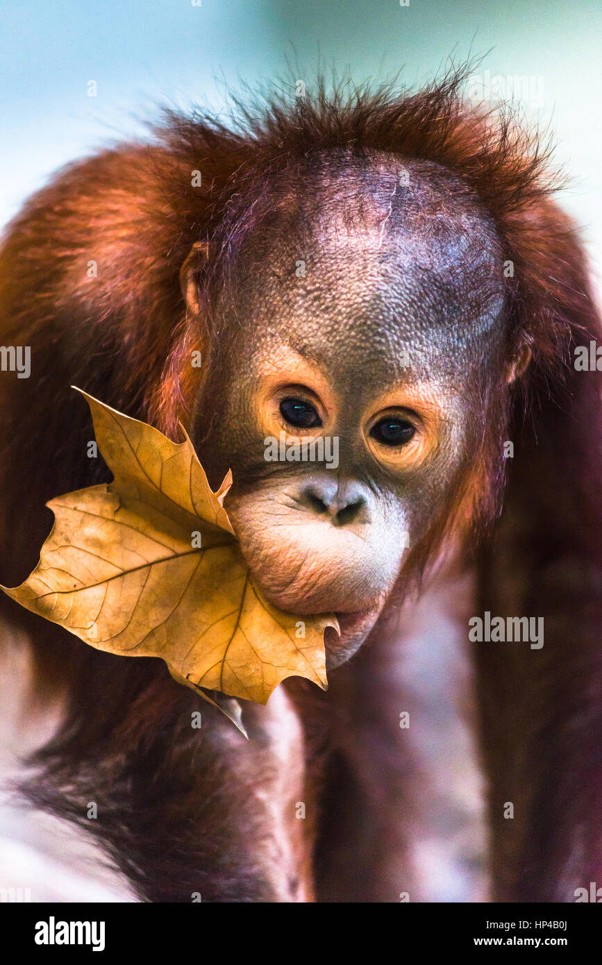 Cute baby orangutan playing. - Stock Image