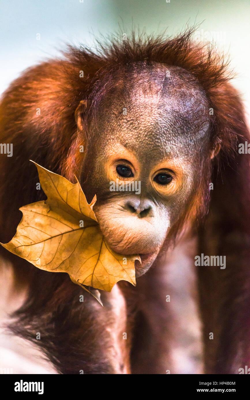 Cute baby orangutan playing. - Stock Image