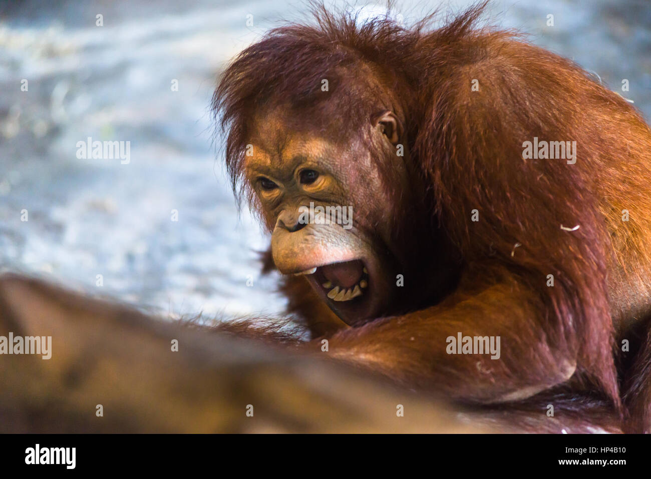 Growling Orangutan - Stock Image
