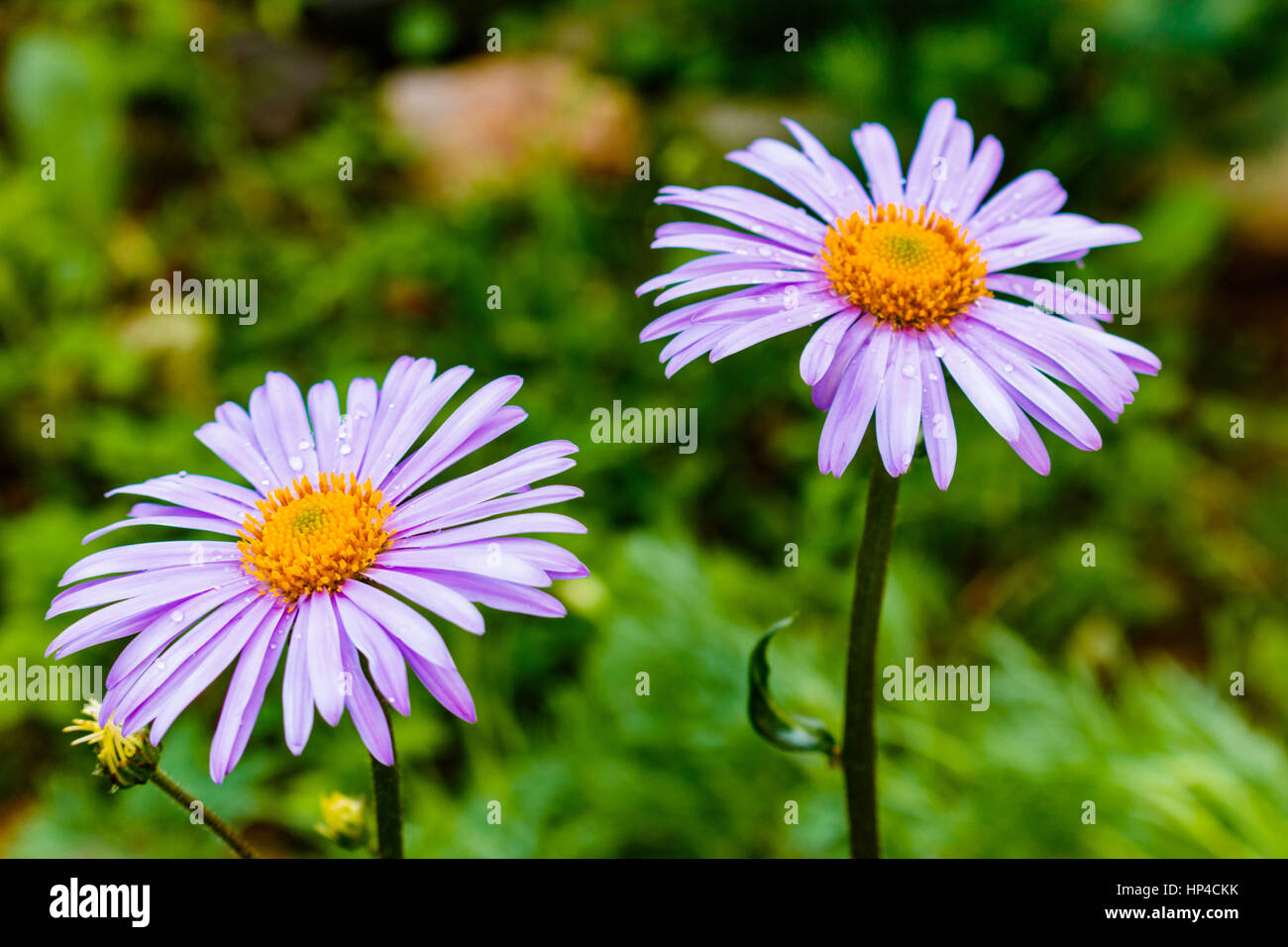 Bluish Aster, Aster tongolensis, family Compositae. two flowers. purple - Stock Image