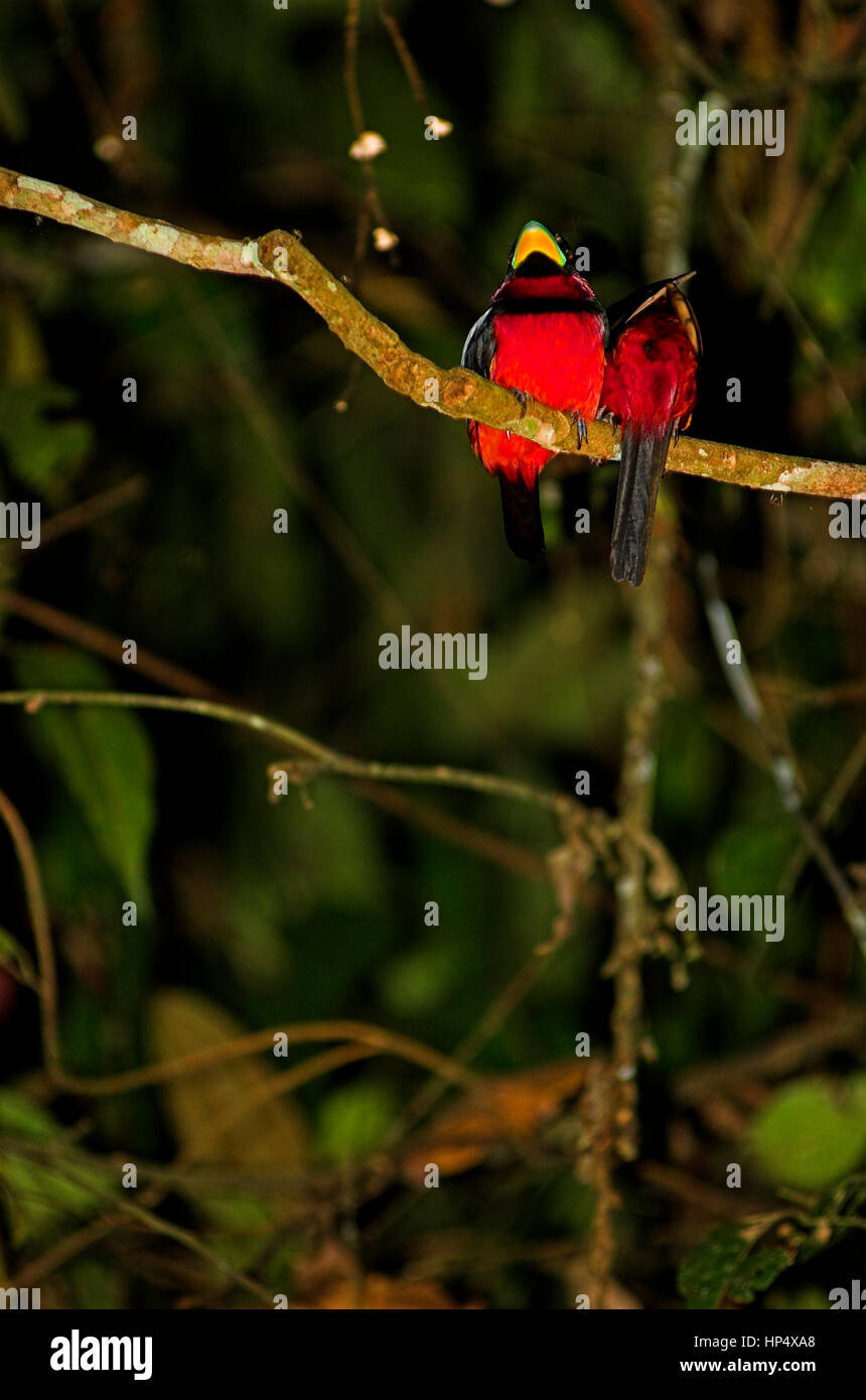 A couple of black and red broadbill (Cymbirhynchus macrorhynchos) sleeping on a branch in the jungle - Stock Image