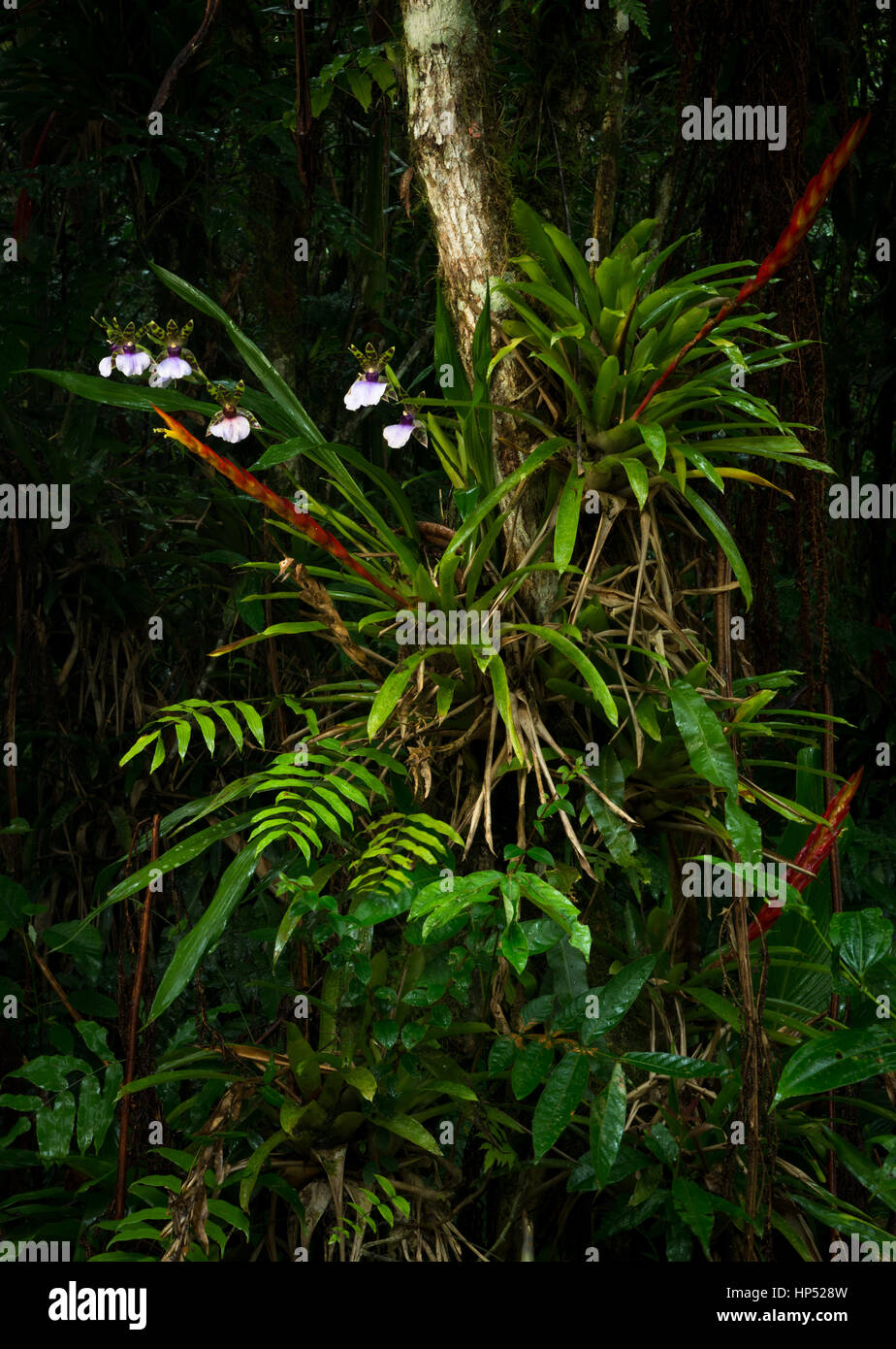 A lush collection of epiphytes growing in the Atlantic Rainforest Stock Photo