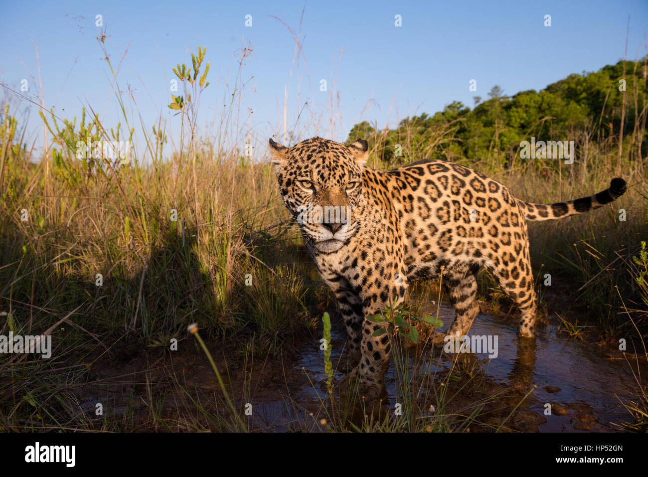 Jaguar exploring a grassland in the Cerrado - Stock Image
