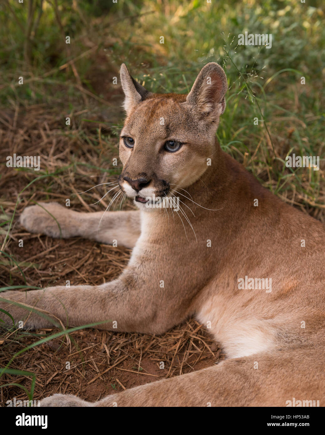 A large Puma cub from Central Brazil - Stock Image