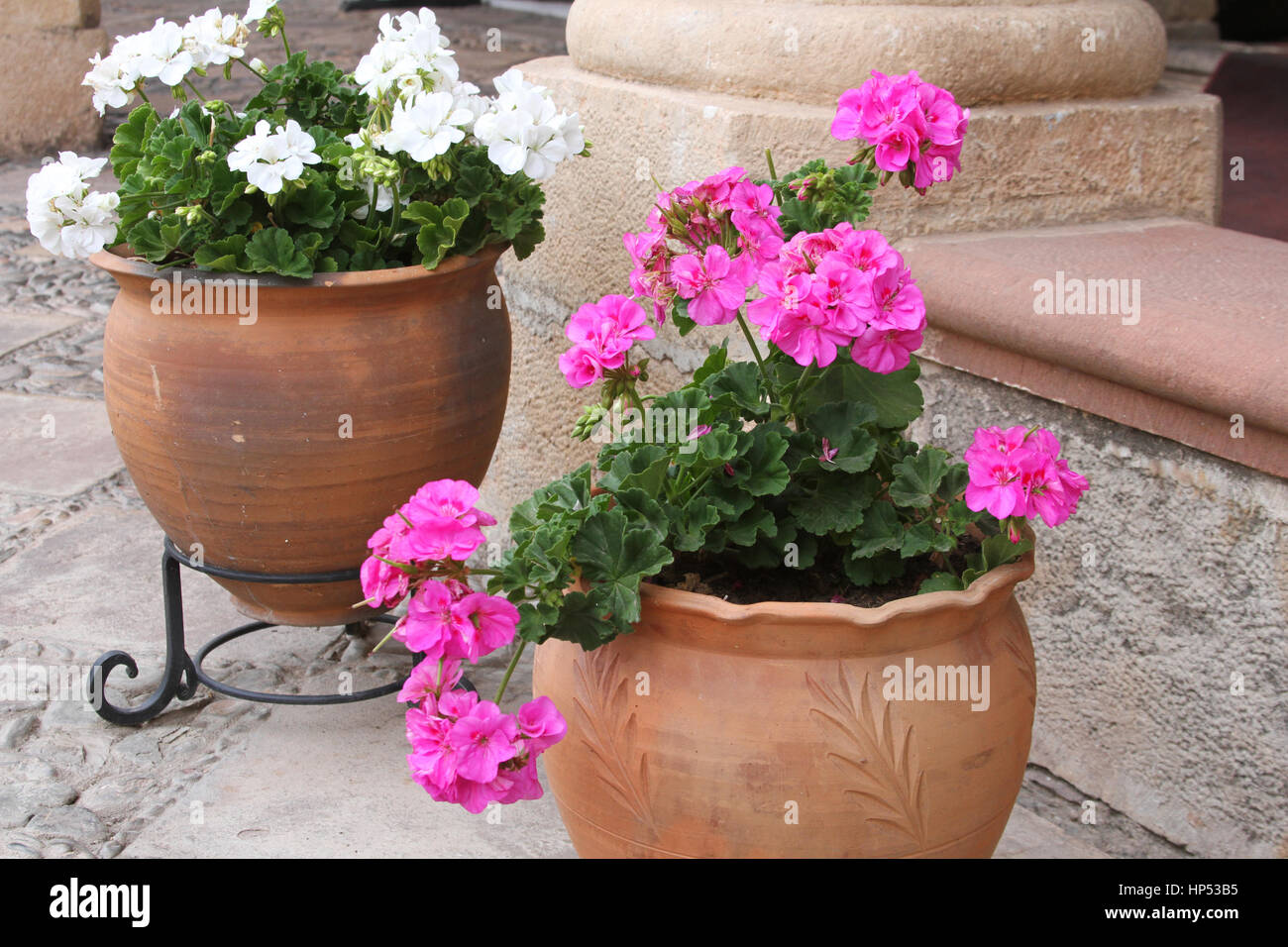 Terra Cotta Pots Of Pink And White Geraniums On A Patio