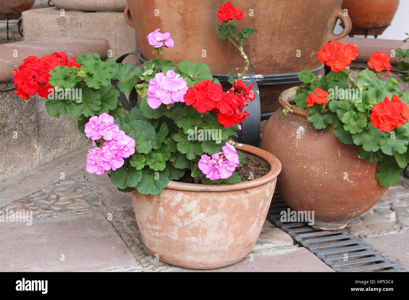 Terra Cotta Pots Of Red And Pink Geraniums On A Patio In Bolivia