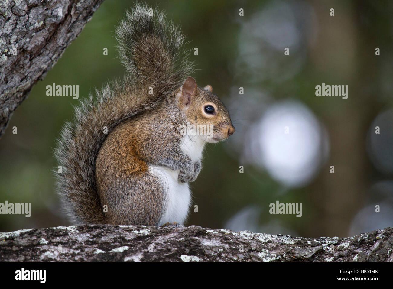 Eastern grey squirrel in Florida - Stock Image