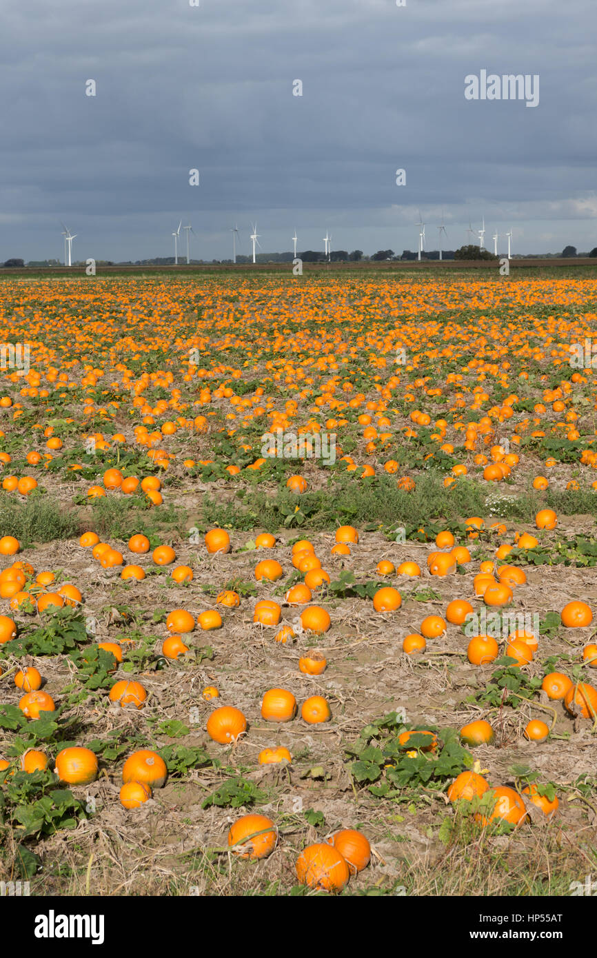 Thousands of ripe orange pumpkins growing in field with wind turbines in distance, Fens, UK. Unsharpened - Stock Image
