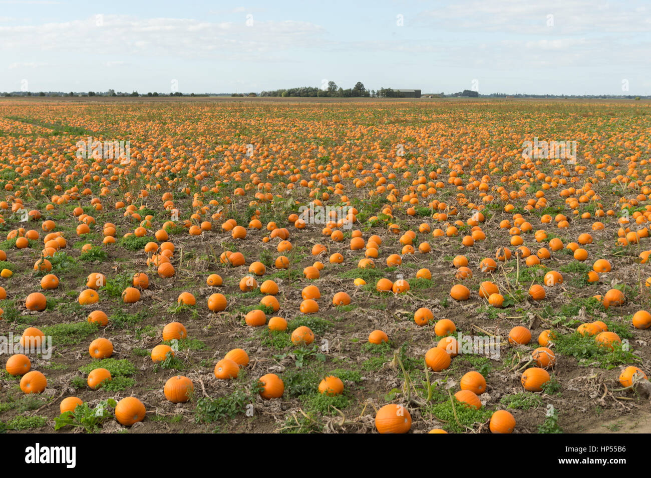 Thousands of ripe orange pumpkins growing in field, fens UK. Unsharpened - Stock Image