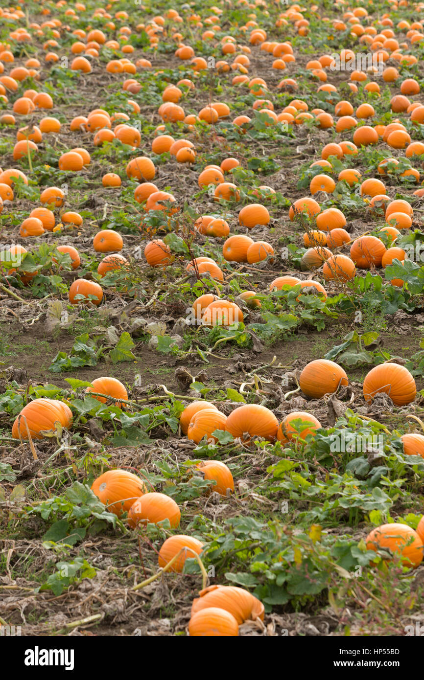 Ripe orange pumpkins growing in field, fens UK. Unsharpened - Stock Image