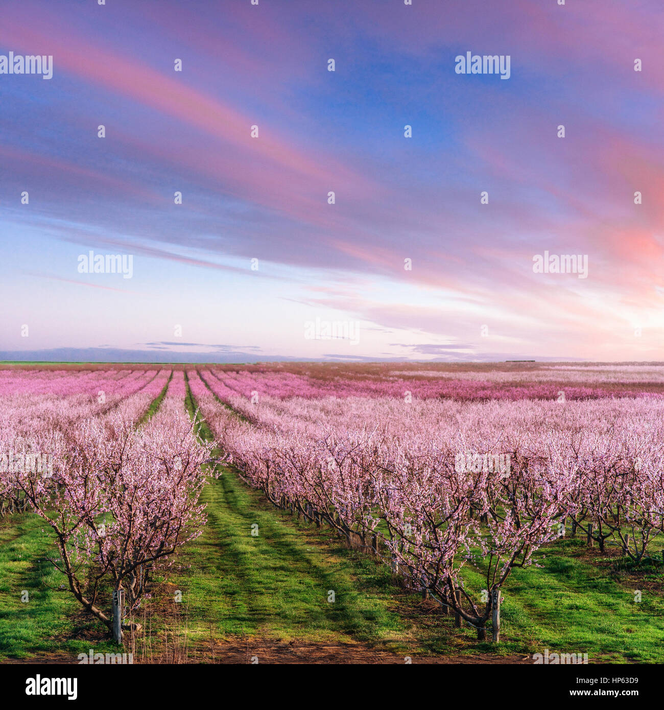 blossoming tree garden - Stock Image